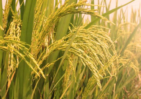rice corp